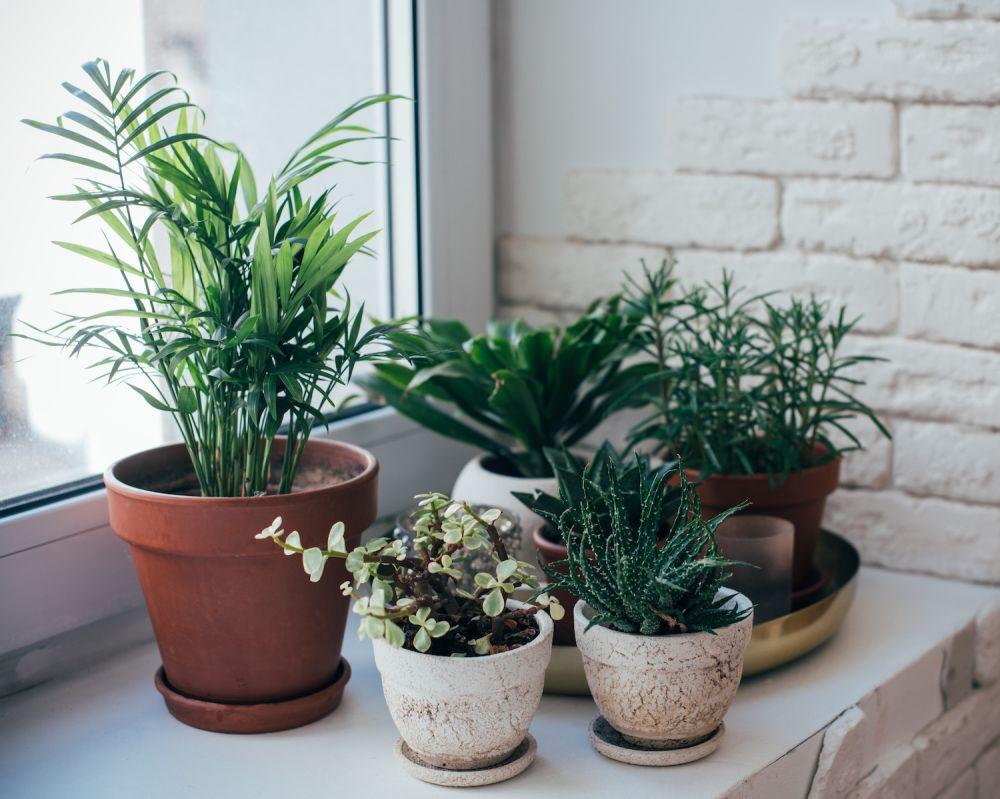 rośliny doniczkowe na parapecie